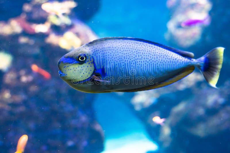 Blått skarp smakfisk- och för korallrev liv royaltyfri foto
