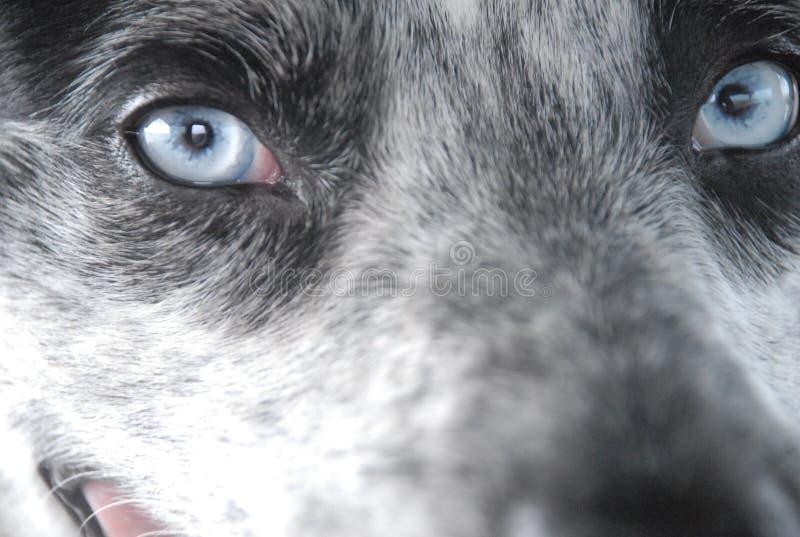 Blått synad hund royaltyfri fotografi