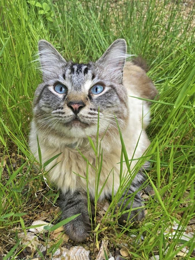Blått synad katt i gräs royaltyfri bild