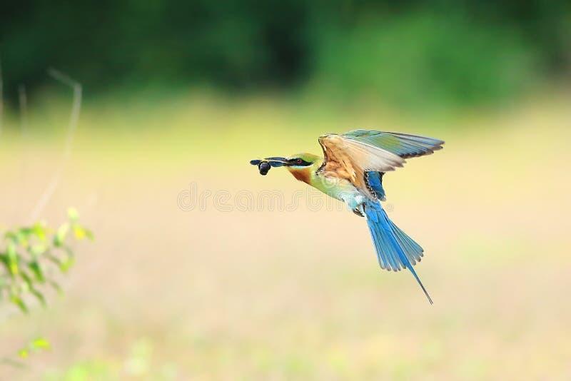 Blått-tailed Bi-ätare flyg arkivfoto