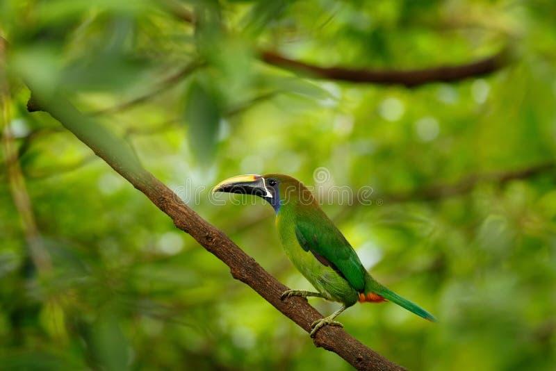 Blått-throated Toucanet, Aulacorhynchus caeruleogularis, grön tukanfågel i naturlivsmiljön Exotiskt djur i tropisk skog, royaltyfri foto