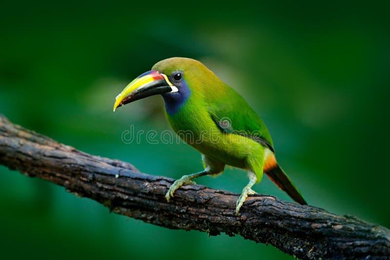 Blått-throated Toucanet, Aulacorhynchus prasinus, grön tukanfågel i naturlivsmiljön, exotiskt djur i den tropiska skogen, Mexico arkivbild