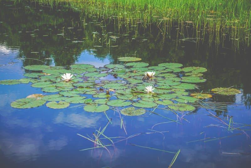Blått vatten för damm och lotusblommablommor royaltyfri fotografi
