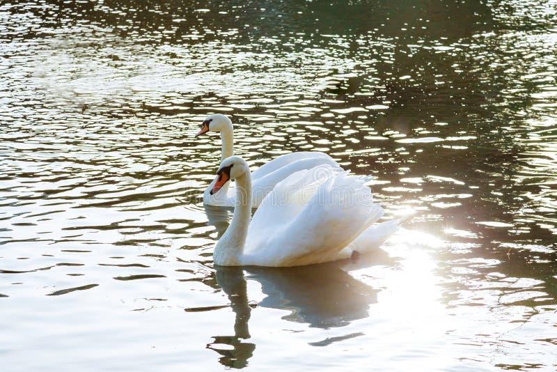 Blått vatten för härliga vita svanpar royaltyfria bilder