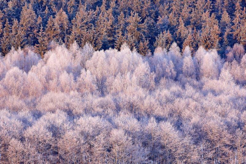 Blått vinterlandskap, skog för björkträd med snö, is och rimfrost Rosa morgonljus för soluppgång Vinterskymning, kall natur fotografering för bildbyråer