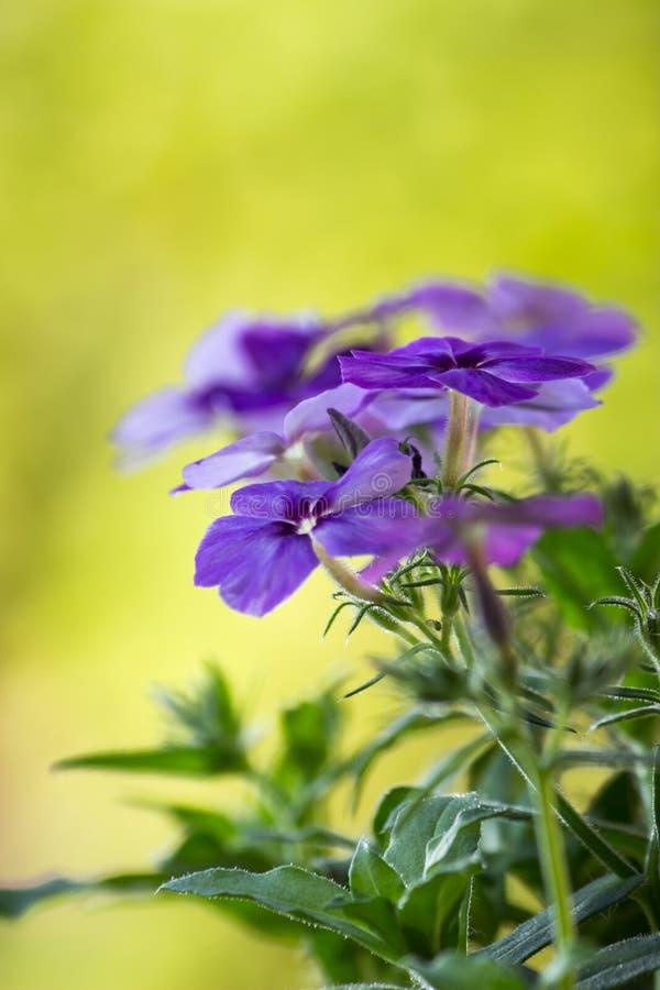 Blåttblommor, grön vårbakgrund fotografering för bildbyråer