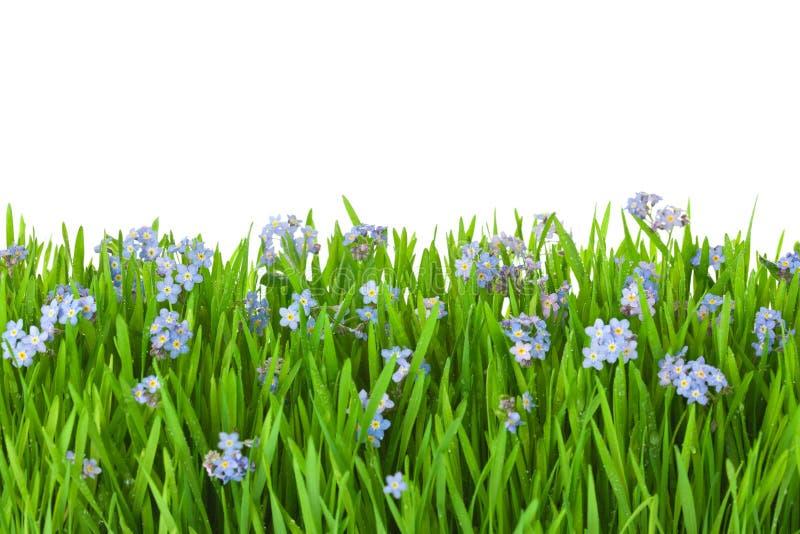 Blåttblommor in i grönt gräs med bevattnar tappar/isolerat på wh royaltyfria foton