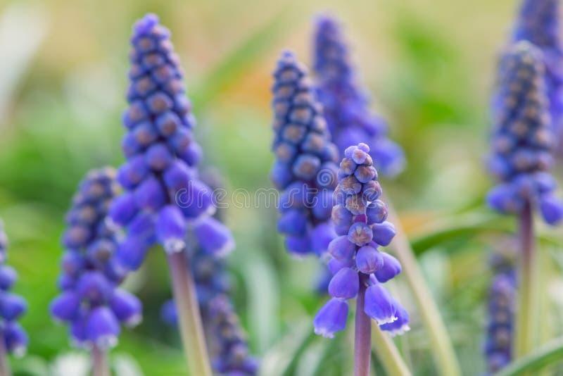 Blåttblomningar av muscariblomman royaltyfria foton