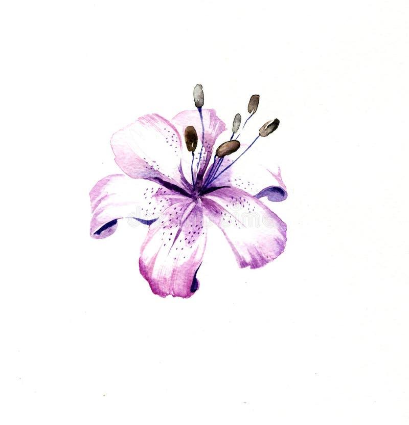 Blåtten - den purpurfärgade liljan blommar vattenfärgen royaltyfri illustrationer