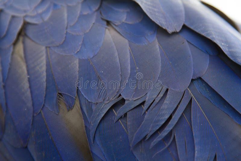 Blåttfjädrar av en härlig papegoja royaltyfria bilder