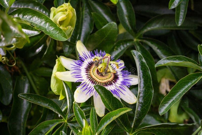 Blåttpassionsblomma för vit blomma arkivbild