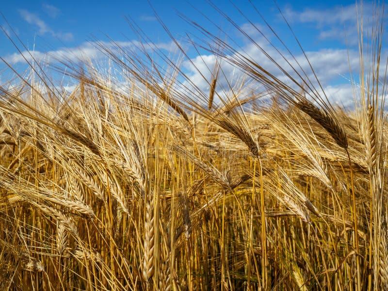 Blé d'or dans le champ et ciel bleu photographie stock libre de droits