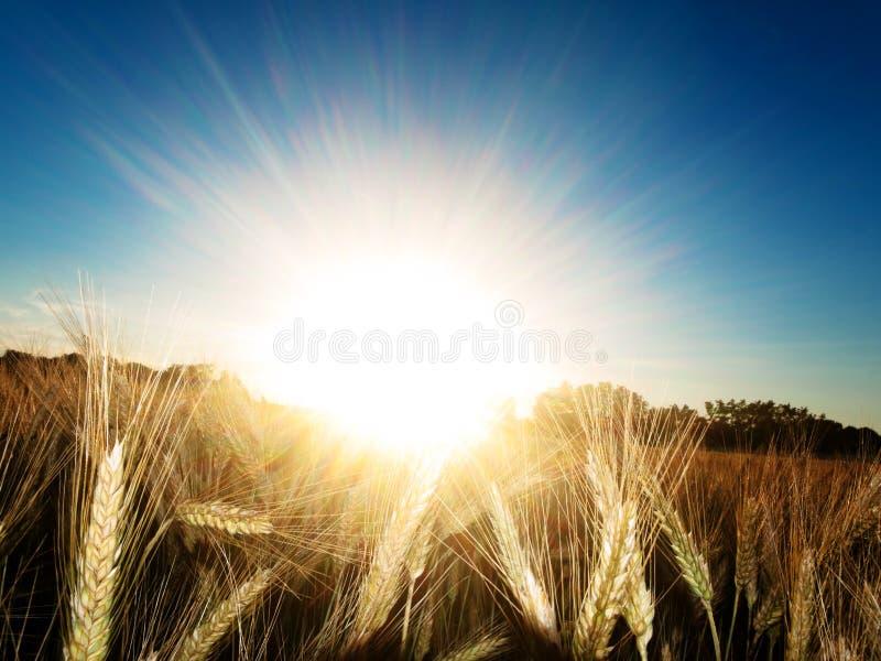 blé d'or de zone image stock