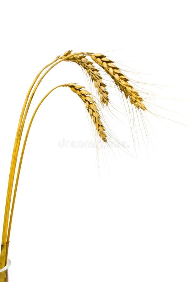 blé d'isolement de transitoires image libre de droits