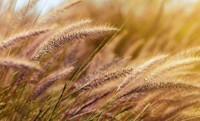 Blé dans le vent à la lumière gentille du soleil de soirée image libre de droits