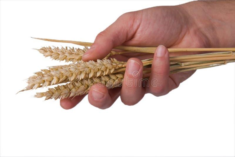 blé de main photos stock