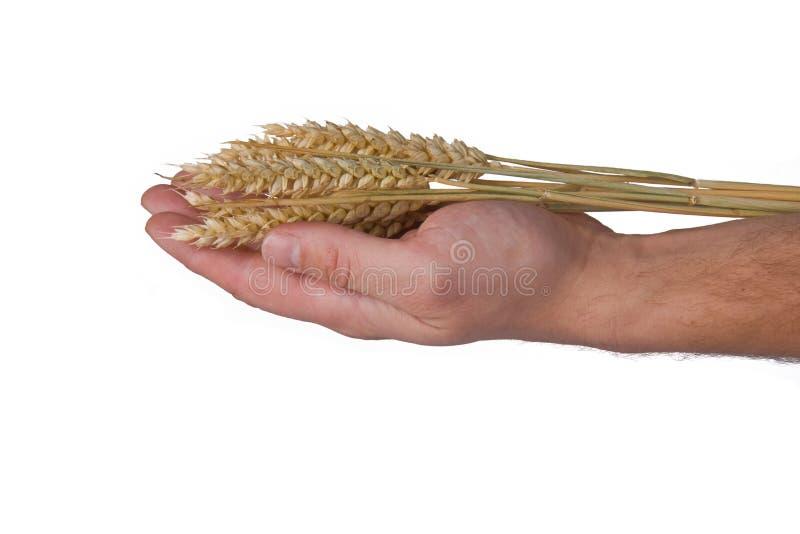blé de main photographie stock libre de droits