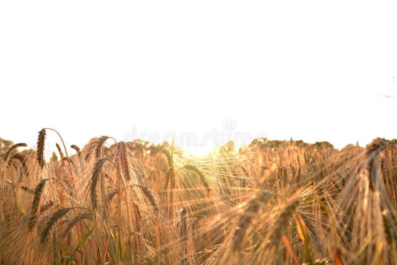 Blé de maturation de champ au coucher du soleil images libres de droits