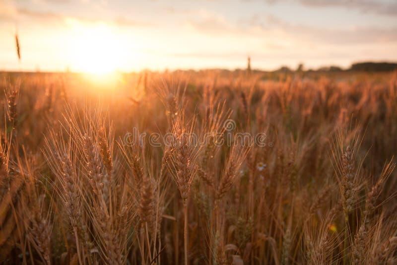 Blé de maturation de champ au coucher du soleil Le concept d'une récolte riche photos libres de droits
