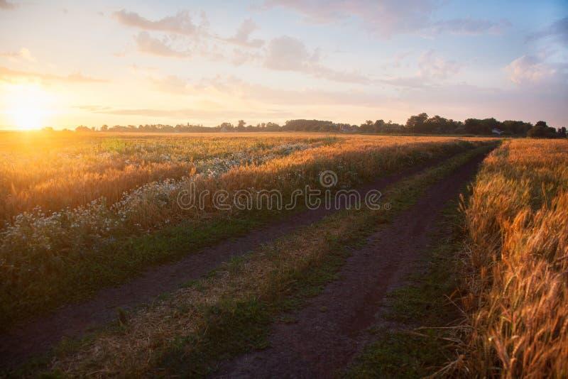 Blé de maturation de champ au coucher du soleil Le concept d'une récolte riche photo libre de droits