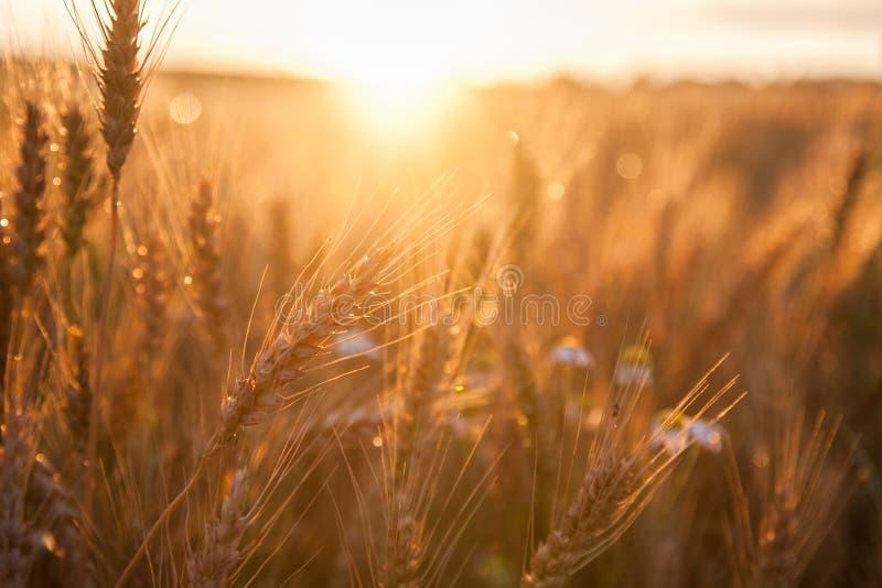 Blé de maturation de champ au coucher du soleil Le concept d'une récolte riche images stock