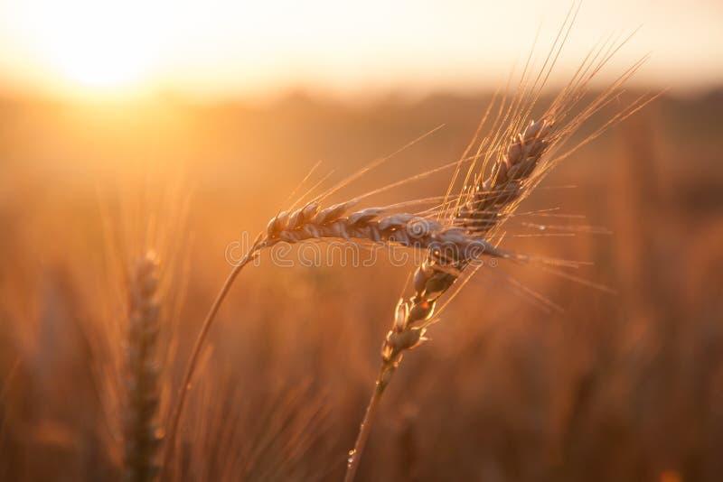 Blé de maturation de champ au coucher du soleil Le concept d'une récolte riche photographie stock