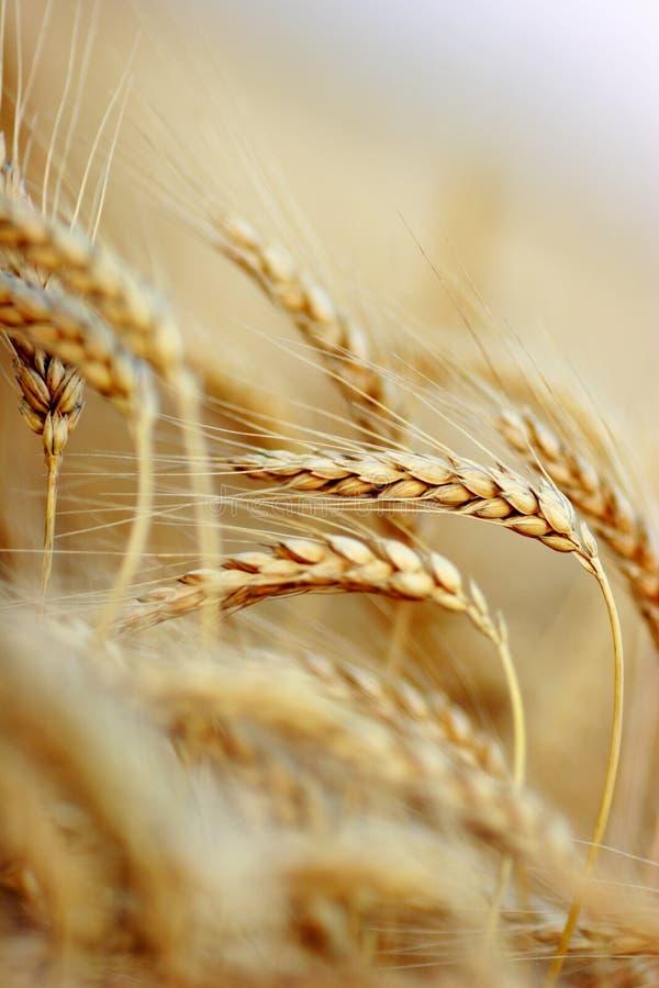 blé de zone photo stock