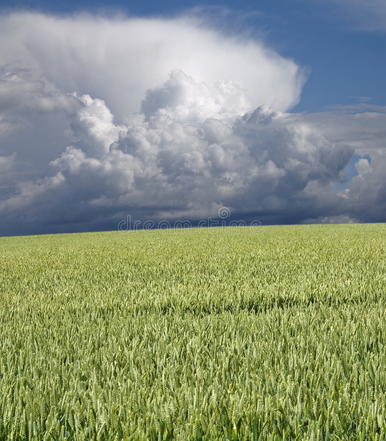 Blé et stormclouds verts image stock