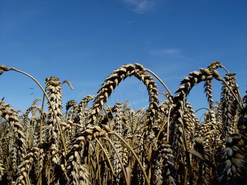 blé mûr image stock