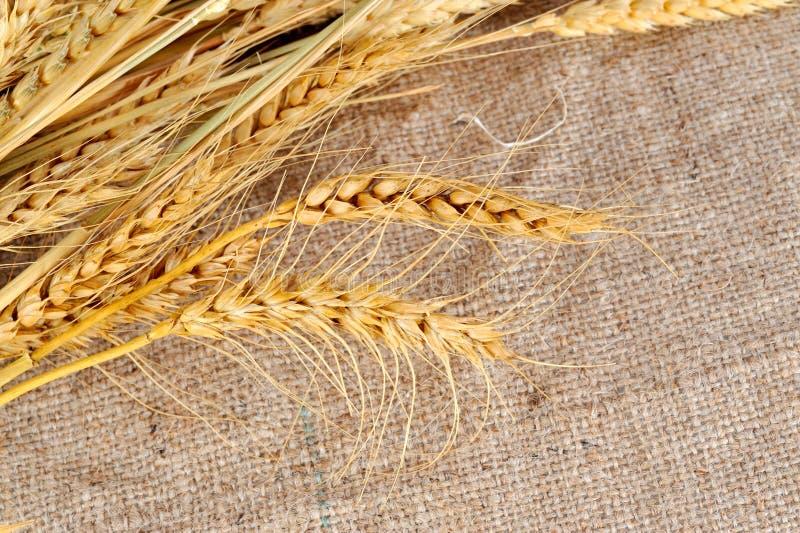 blé sec photos libres de droits