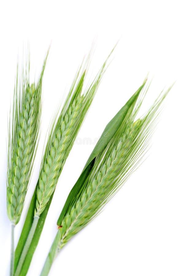 blé vert photos libres de droits
