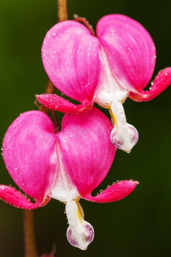 Blödande rosa hjärta blommar (Dicentraspectabilis eller Lamprocapnos spectabilis) arkivfoto