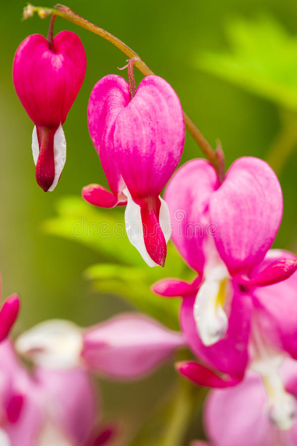 Blödande rosa hjärta blommar (Dicentraspectabilis eller Lamprocapnos spectabilis) royaltyfri bild