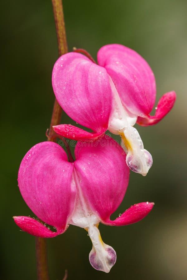 Blödande rosa hjärta blommar (Dicentraspectabilis eller Lamprocapnos spectabilis) royaltyfri fotografi