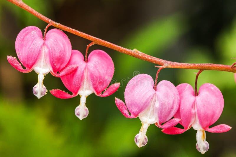 Blödande rosa hjärta blommar (Dicentraspectabilis eller Lamprocapnos spectabilis) arkivbild