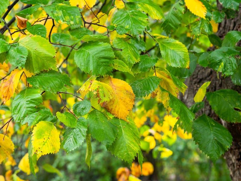 Blöta gräsplan, och gulingsidor av almträdet fattar på fotografering för bildbyråer