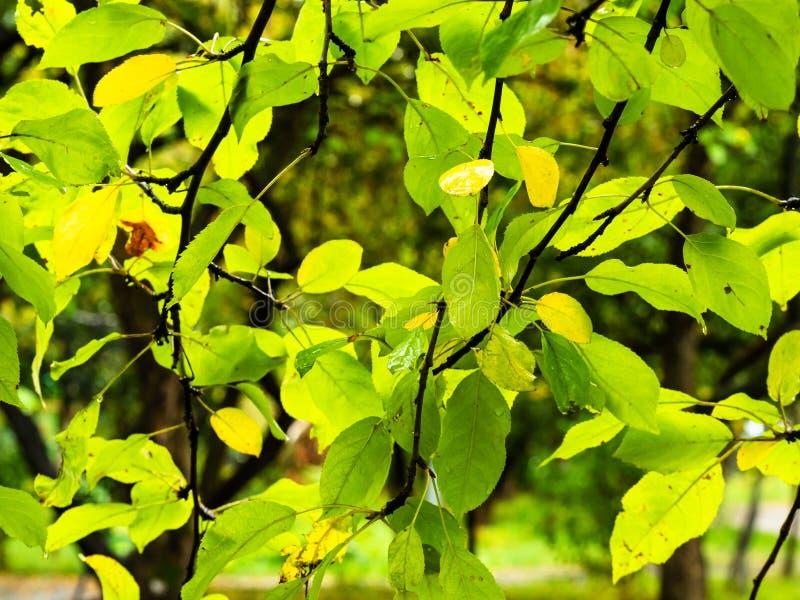Blöta gräsplan- och gulingsidor av päronträdet i regn royaltyfria foton