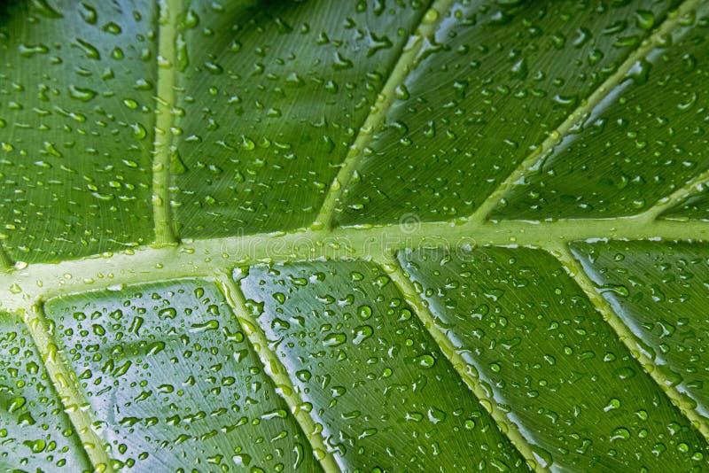 Blöta modeller och texturer av grön bladväxtbakgrund royaltyfri fotografi