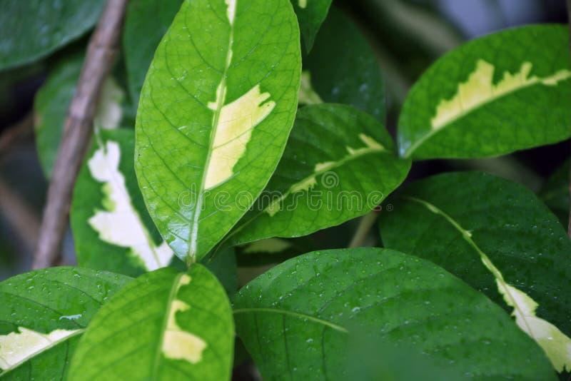 Blöta sidor av karikatyrväxten efter regn Grönt blad och den vita färgen på mitten och formen av viten royaltyfri fotografi