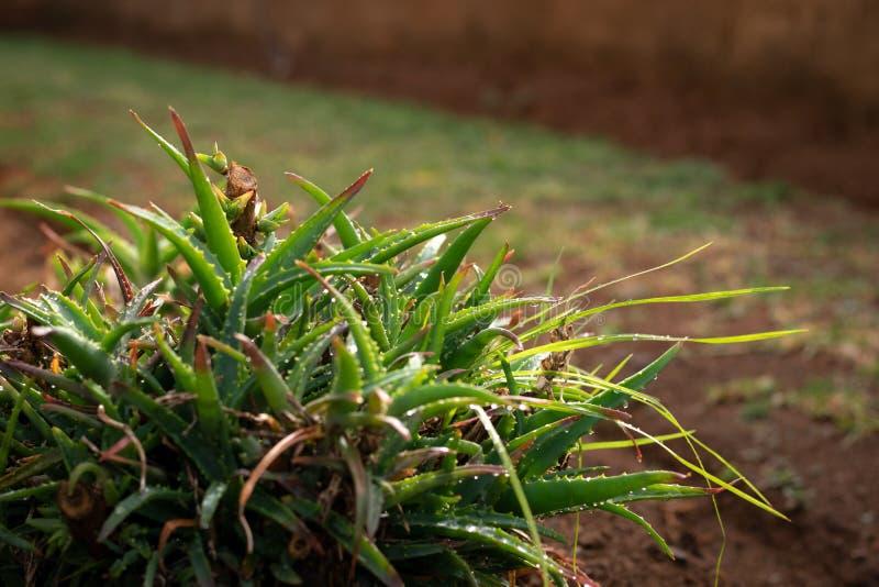 Blöta trädgårds- aloe på en vintermorgon royaltyfri foto