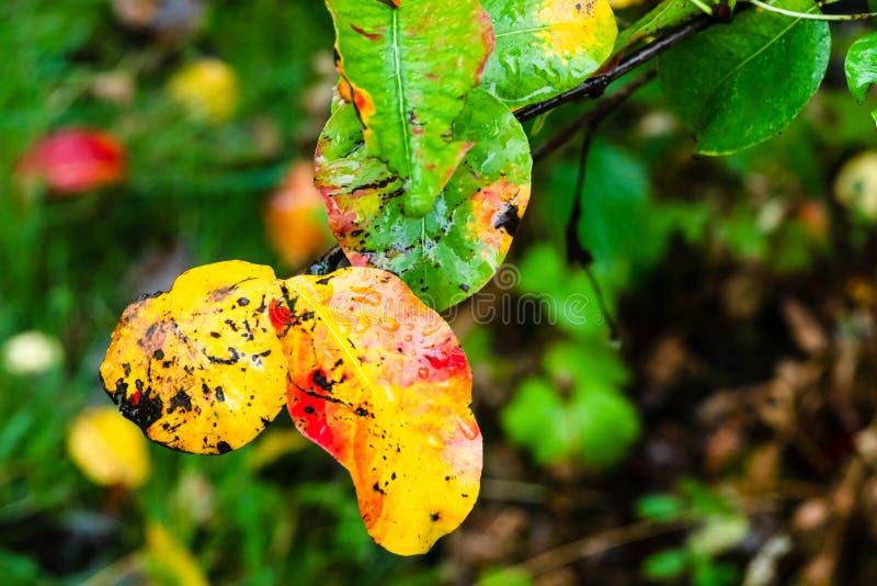 Blöta upp guling och röda sidor av slutet för päronträdet arkivfoto