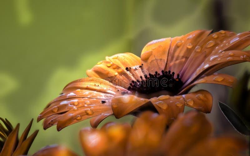 Blöter en orange tusensköna med vattensmå droppar arkivfoton
