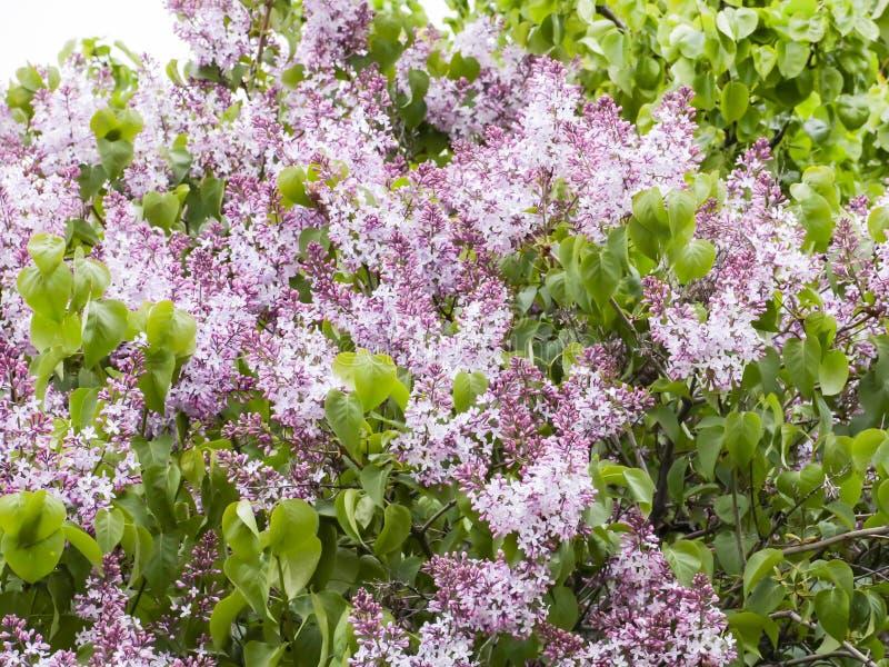 Blühen der Flieder im Garten Purpurrote Blumen und grüne Blätter, Hintergrund, Beschaffenheit Mai, Frühling stockfotos