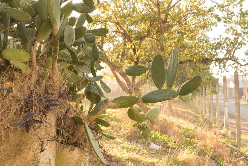 Blühen der Kaktus-Opuntie an Wintermorgen 06 lizenzfreies stockbild