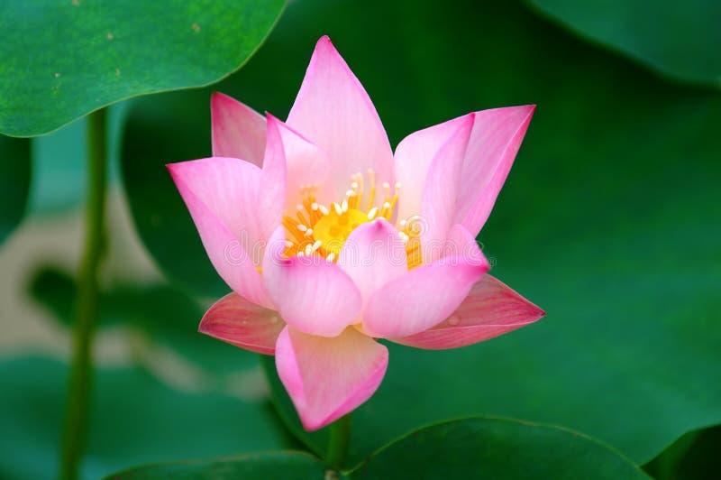 Blühen der Lotosblume lizenzfreie stockfotos