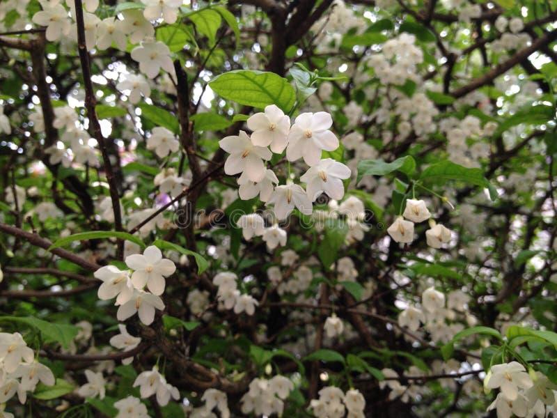Blühen der weißen Blume lizenzfreies stockbild