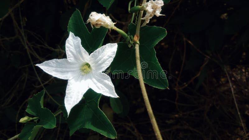 Blühen der weißen Blumen lizenzfreie stockbilder