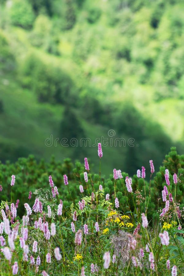 Blühen des allgemeinen Wiesenknöterichs (Persicaria-bistorta) lizenzfreie stockbilder