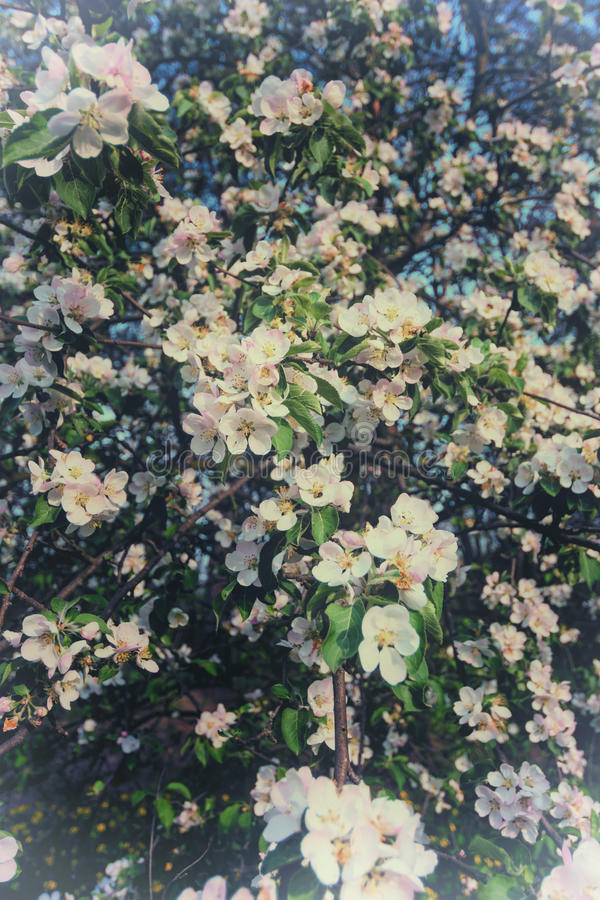 Blühen des Apfelbaums im Frühjahr stockbilder