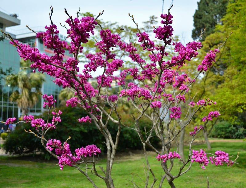 Blühen des Cercis canadensis stockfoto